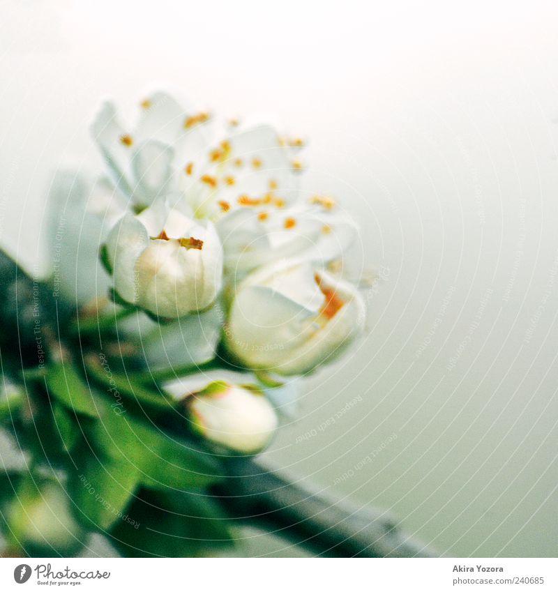 Remember Of Spring Natur Pflanze Frühling Blatt Blüte Blütenknospen Blühend Duft Wachstum ästhetisch frisch grau grün weiß Frühlingsgefühle Beginn Farbfoto