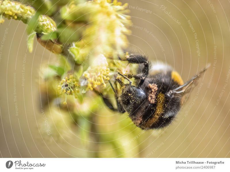 Hummel auf der Blüte Natur Pflanze grün Sonne Baum Tier Blatt schwarz gelb Umwelt Auge orange Wildtier Schönes Wetter Flügel