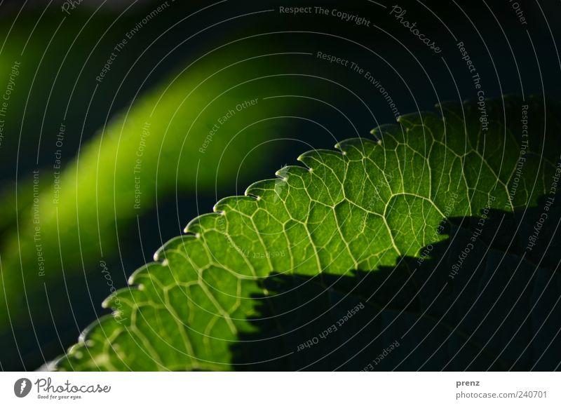 Licht und Schatten 2 grün Pflanze Blatt schwarz Linie Blattadern Zacken Wildpflanze durchscheinend