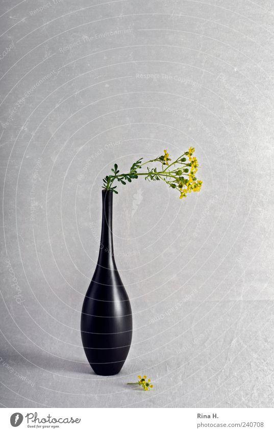 Still mit geknickter Weinraute alt Pflanze schwarz gelb Blüte Kunst Lifestyle Häusliches Leben elegant Dekoration & Verzierung ästhetisch einfach Blühend