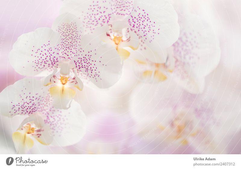 Zarte Blüten der Orchideen Erholung Meditation Spa Massage Dekoration & Verzierung Tapete Bild Poster Valentinstag Muttertag Hochzeit Geburtstag Natur Pflanze