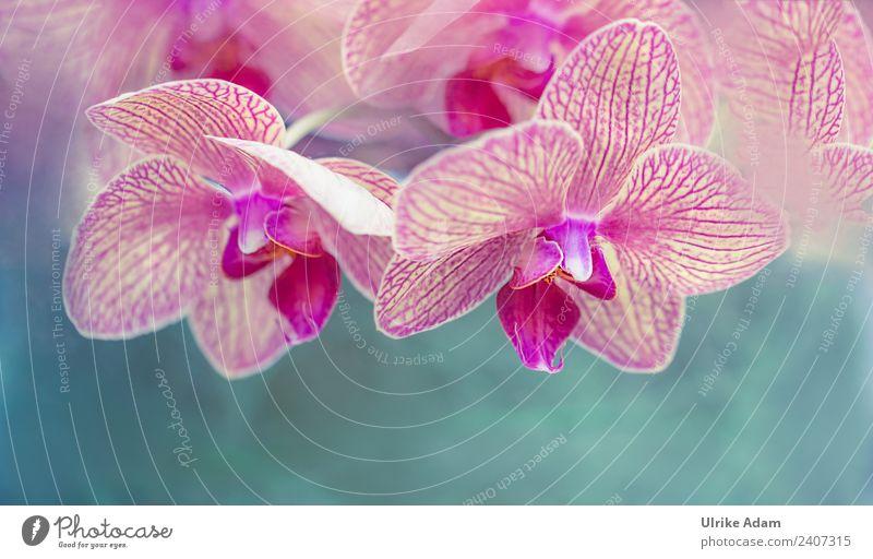Rosa Orchideen - Phalaenopsisblüte schön Wellness Leben harmonisch Wohlgefühl Zufriedenheit Sinnesorgane Erholung ruhig Meditation Kur Spa Massage Akupunktur