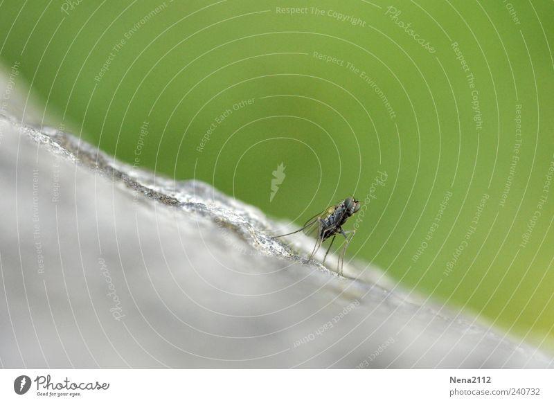 Little fly... Natur Tier Fliege 1 klein grau grün Insekt diagonal Stein Sandstein Farbfoto Außenaufnahme Nahaufnahme Detailaufnahme Makroaufnahme Menschenleer