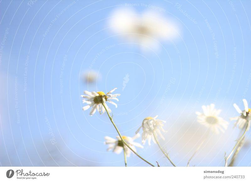 blumenwölkchen Himmel Natur Pflanze Sommer Blume Wiese Frühling Blüte Feld elegant Wachstum leuchten Idylle Schönes Wetter Postkarte Duft