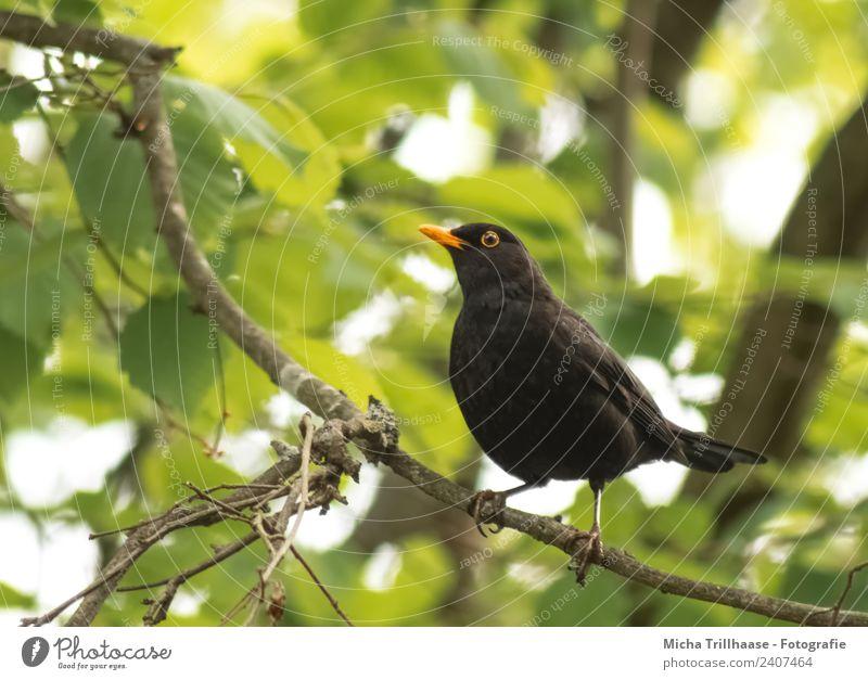 Amsel im Baum Umwelt Natur Tier Sonne Schönes Wetter Blatt Wald Wildtier Vogel Tiergesicht Flügel Krallen Auge Schnabel 1 beobachten Blick stehen nah natürlich