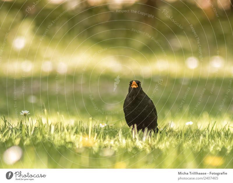 Singende Amsel auf der Wiese Natur grün Sonne Blume Tier Freude schwarz gelb sprechen lustig Gras Vogel orange leuchten glänzend