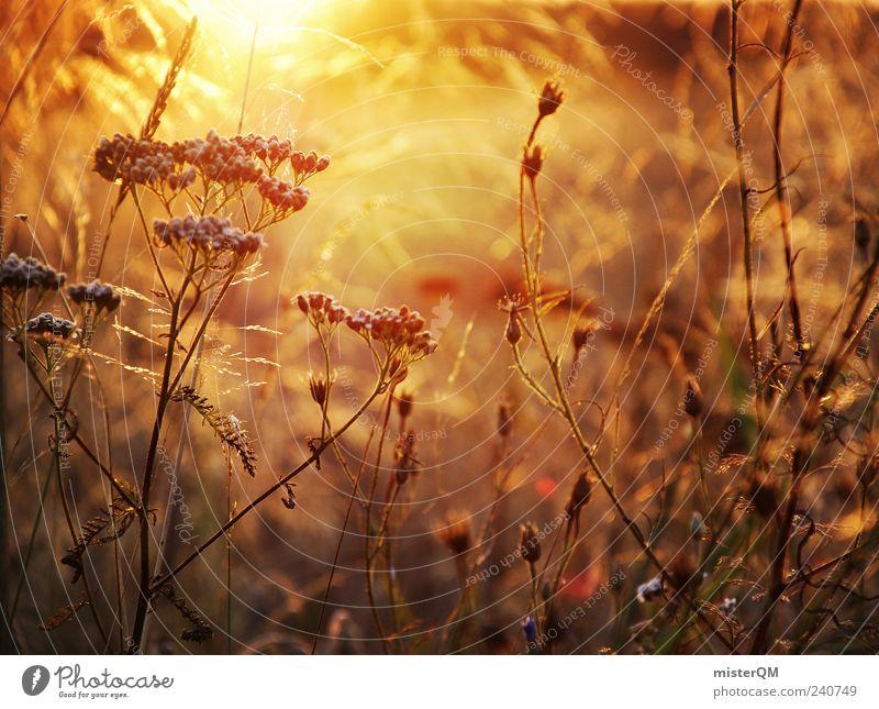 Abendsonne. Umwelt Natur Landschaft Pflanze Klima ästhetisch Zufriedenheit Sommer Blumenwiese Sonnenlicht Feld ruhig friedlich Unkraut schön Momentaufnahme