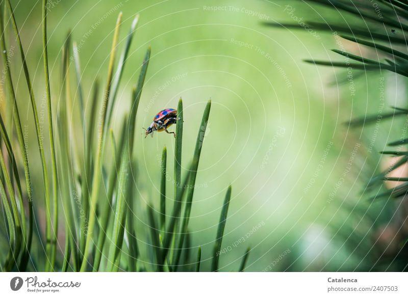 Runter von der Spitze Natur Pflanze Tier Sommer Schönes Wetter Baum Gras Kiefer Kiefernadeln Wald Käfer Marienkäfer 1 hängen krabbeln authentisch schön braun