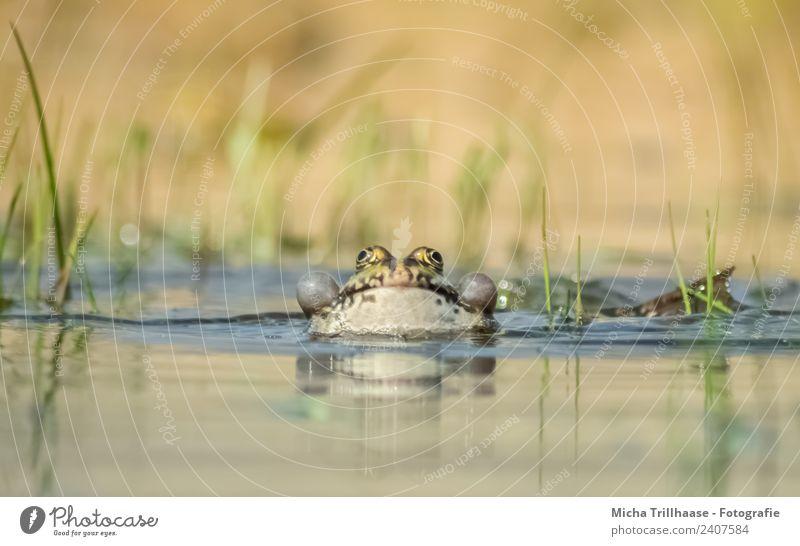 Frosch im Wasser Natur blau grün Sonne Tier gelb Umwelt Auge Beine lustig See Schwimmen & Baden orange Wildtier Schönes Wetter