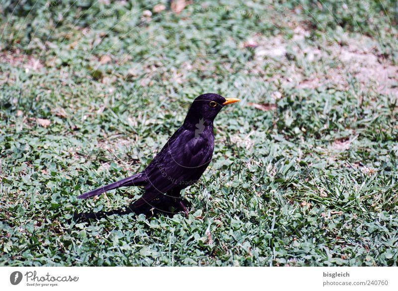 Stillgestanden! grün schwarz Tier Wiese Gras Vogel sitzen Wachsamkeit