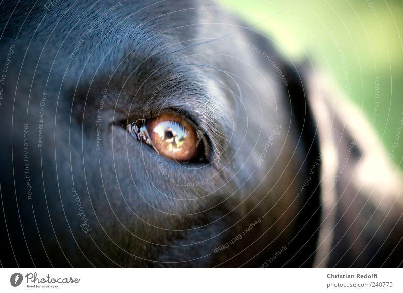 dogeyes Hund Sommer Tier ruhig Auge Garten Ohr Fell Haustier Labrador Weimaraner Makroaufnahme Hundeblick