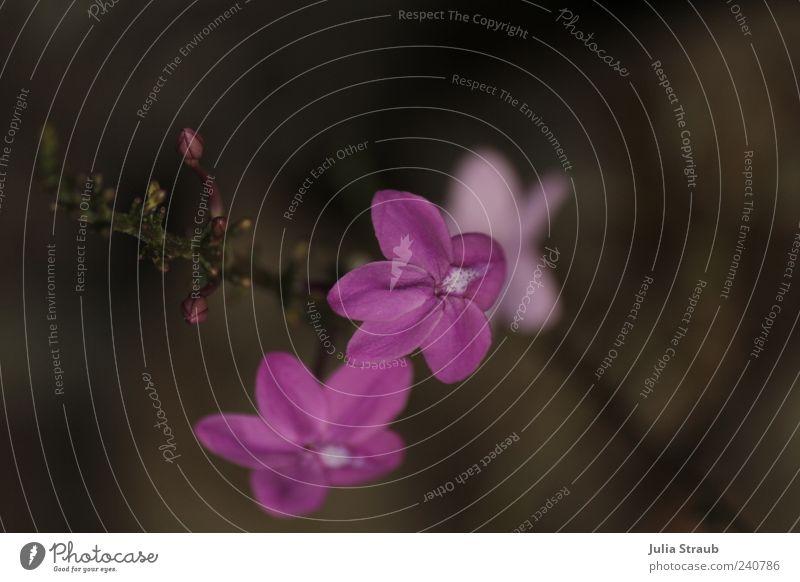 li la Sommer Pflanze Blume Blüte Grünpflanze Natur violett Blattknospe braun beige Farbfoto Außenaufnahme Tag Unschärfe Vogelperspektive Textfreiraum oben