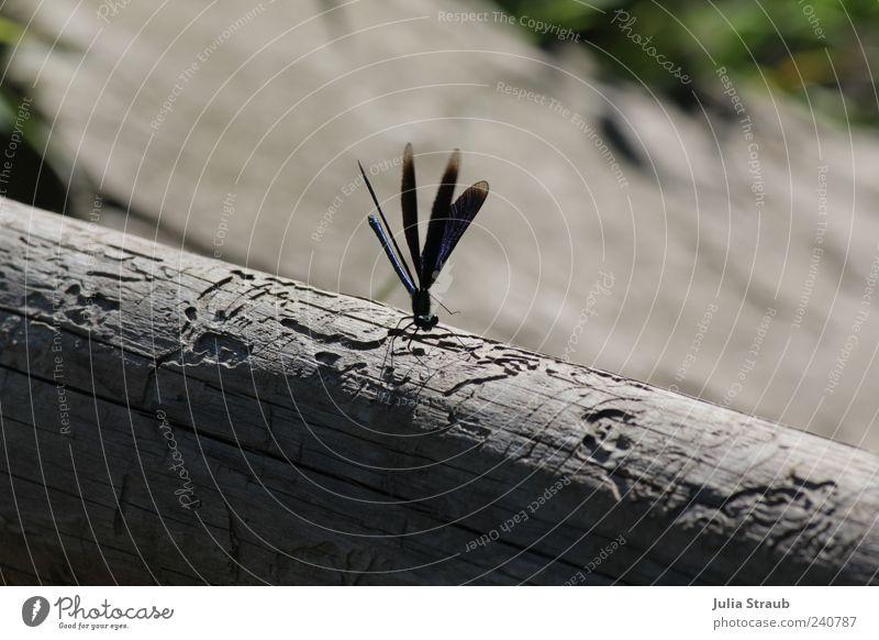 Blauflügel Natur blau grün Tier schwarz grau Flügel Baumstamm Libelle Schatten Blauflügel-Prachtlibelle