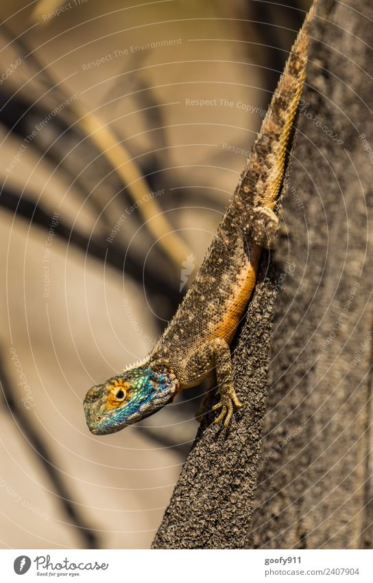 Blaukopfagame Ferien & Urlaub & Reisen Ausflug Abenteuer Safari Expedition Umwelt Natur Baum Sträucher Wüste Namibia Afrika Tier Wildtier Tiergesicht Schuppen