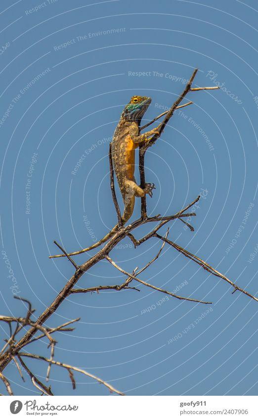 Blaukopfagame II Ferien & Urlaub & Reisen Ausflug Abenteuer Safari Expedition Umwelt Natur Landschaft Himmel Schönes Wetter Wärme Baum Sträucher Wüste Namibia