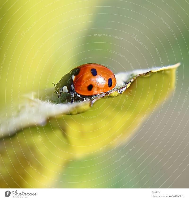 Glücksbringer Natur Herbst Pflanze Blatt Quittenblatt Garten Tier Käfer Marienkäfer Insekt krabbeln klein schön gelb grün rot Symbole & Metaphern gepunktet