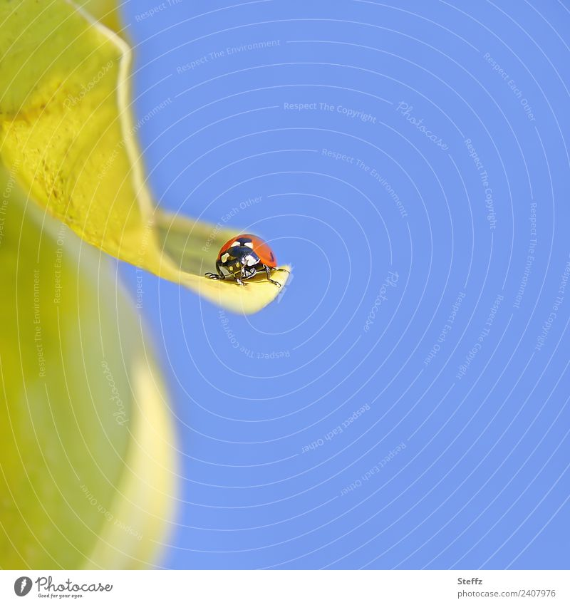 Flugpause Natur Himmel Wolkenloser Himmel Herbst Schönes Wetter Pflanze Blatt Quittenblatt Garten Tier Käfer Marienkäfer Insekt klein schön blau gelb rot