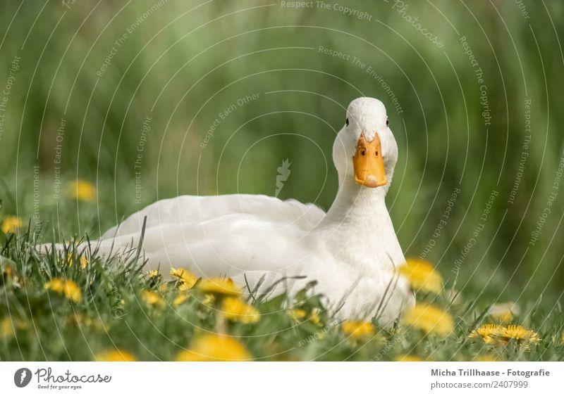Entspannte weiße Ente Natur Pflanze Tier Sonne Schönes Wetter Blume Gras Löwenzahn Wiese Wildtier Vogel Tiergesicht Flügel Stockente Schnabel Auge Feder 1