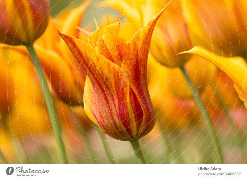Blumen - Gelb rote Tulpen Natur Sommer Pflanze schön Wärme gelb Frühling Blüte Garten Feste & Feiern Park leuchten frisch Geburtstag