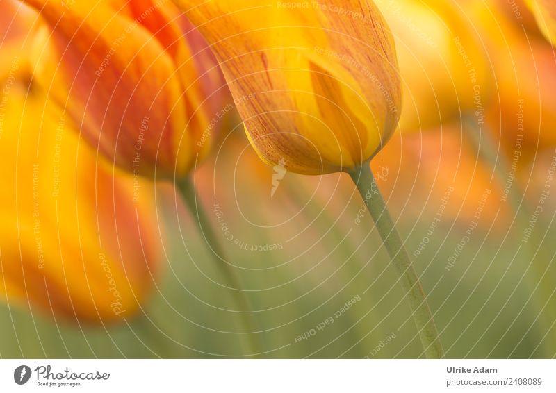 Im Tulpenfeld elegant Stil Design Wellness harmonisch Wohlgefühl Erholung ruhig Meditation Dekoration & Verzierung Tapete Feste & Feiern Valentinstag Muttertag