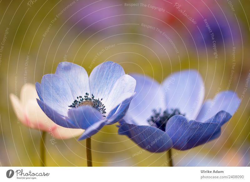 Blaue Anemonen Natur Sommer blau Pflanze schön Blume Erholung ruhig Leben Frühling Blüte Garten Feste & Feiern Zufriedenheit Park frisch