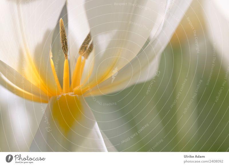 Tulpe - Blütenstempel Natur Pflanze Frühling Blume Tulpenblüte Garten Park Blühend glänzend leuchten elegant frisch weich gelb weiß Frühlingsgefühle Kraft