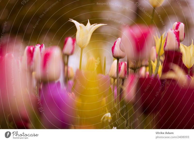 Buntes Tulpenfeld Natur Pflanze Blume rot Erholung ruhig Leben gelb Frühling Blüte Garten Feste & Feiern Design Park elegant weich