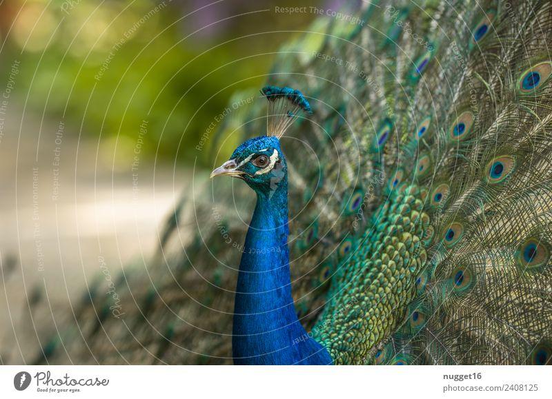 Pfau 2 Natur Sommer blau schön grün weiß Tier Umwelt Herbst Frühling Wiese Garten außergewöhnlich Vogel Park glänzend