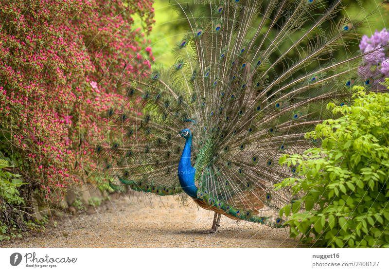 Pfau 3 Natur Sommer blau Pflanze schön grün Blume Tier gelb Umwelt Herbst Frühling Blüte Wiese Garten außergewöhnlich