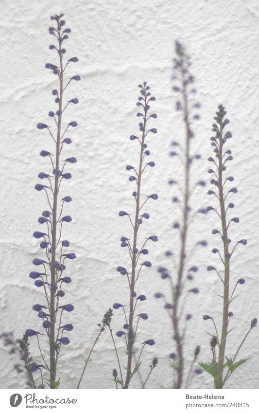 Der Sonne entgegen! blau grün schön Pflanze Sommer Wand Blüte Garten Mauer elegant hoch Wachstum ästhetisch stehen Schönes Wetter rein