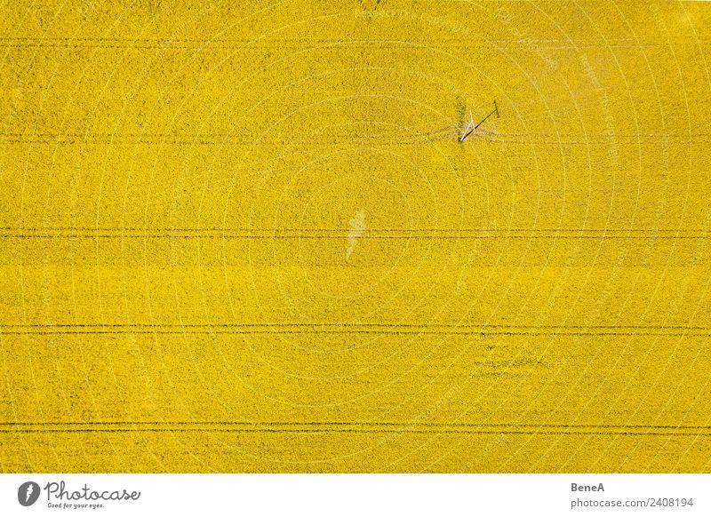 Gelbes Rapsfeld mit Strommast, Stromleitung und Spuren Lebensmittel Getreide Sommer Gartenarbeit Landwirtschaft Forstwirtschaft Industrie Energiewirtschaft