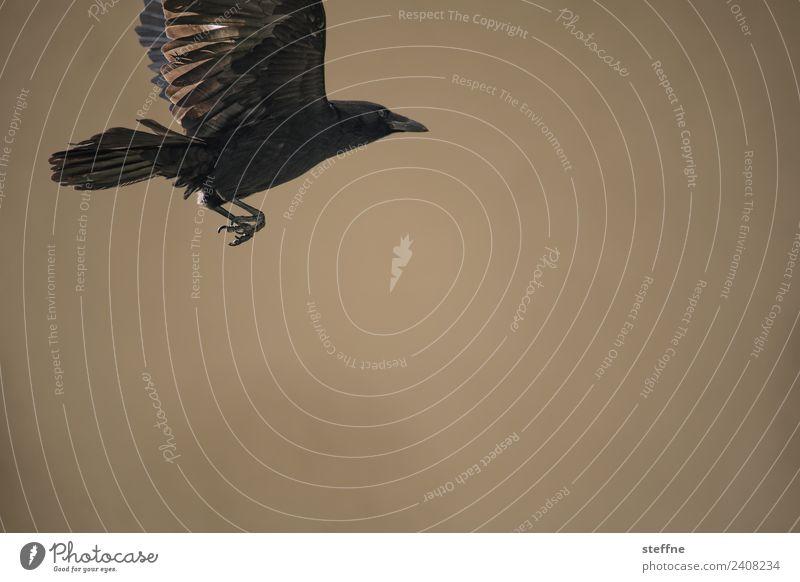 Rabe fliegt vor braunem Hintergrund Tier Wildtier Vogel 1 fliegen Rabenvögel Krallen Farbfoto Außenaufnahme Menschenleer Textfreiraum rechts Textfreiraum unten