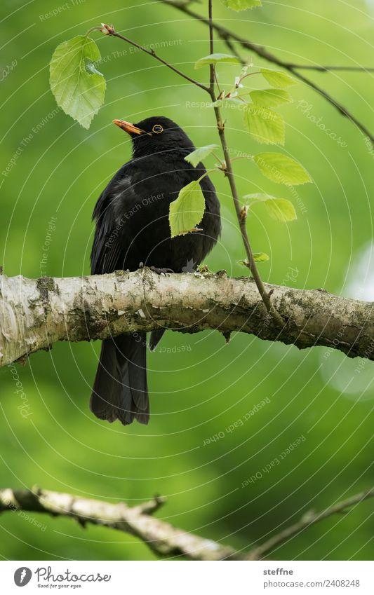 Amsel, die auf einem Ast sitzt und in die Ferne schaut Frühling Baum Tier Wildtier Vogel 1 Blick grün Farbfoto Außenaufnahme Menschenleer Textfreiraum unten