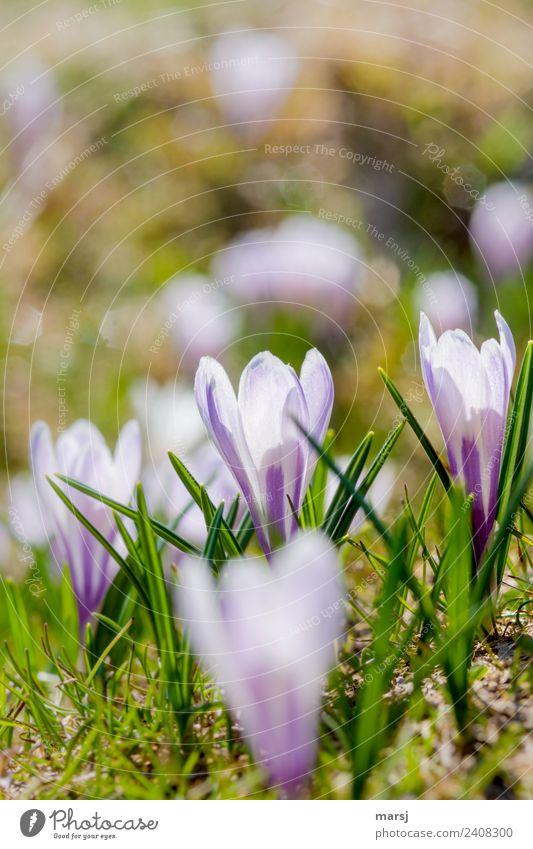 Frühlingszauber Natur Pflanze schön Leben Blüte natürlich klein Zusammensein leuchten Kraft Lebensfreude Blühend Hoffnung violett harmonisch
