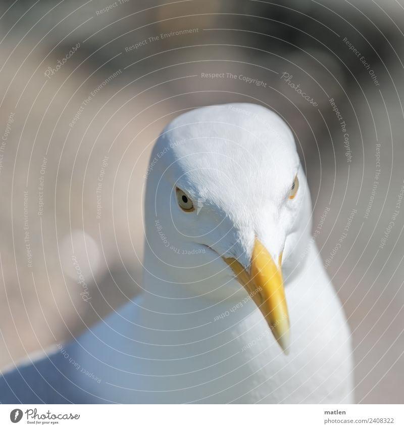Möwenportrait Tier Wildtier Vogel Tiergesicht 1 Blick braun gelb weiß Porträt Schnabel Unschärfe Farbfoto Außenaufnahme Detailaufnahme Menschenleer