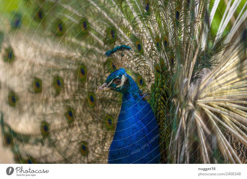 Pfau 1 Natur Sommer blau schön grün weiß Tier gelb Umwelt Herbst Frühling Garten außergewöhnlich Vogel Park glänzend