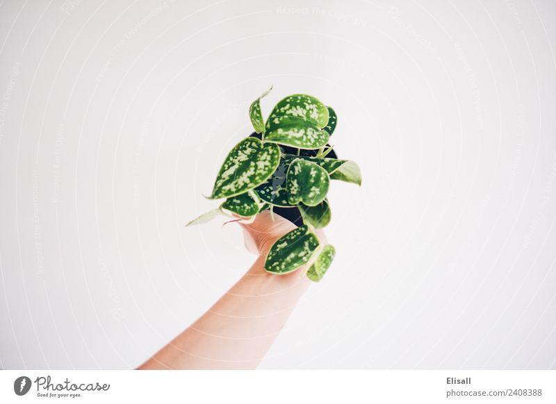 Zimmerpflanze Lifestyle kaufen Freizeit & Hobby Natur Pflanze grün Gartenarbeit Frühling Blatt Farbfoto Textfreiraum links Textfreiraum rechts Textfreiraum oben