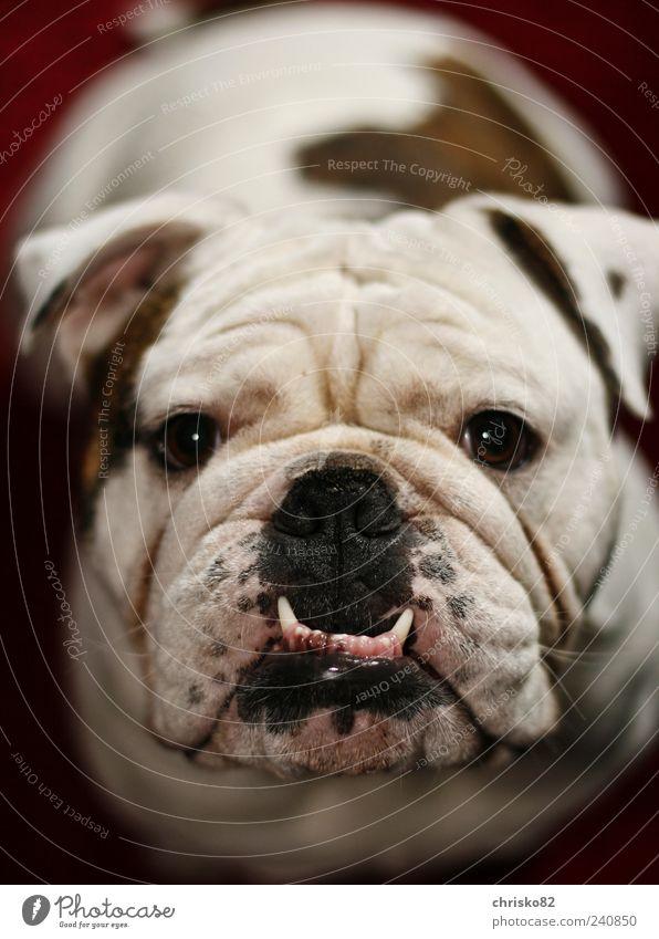 Englische Bulldogge (Marley) Spielen Haustier Hund Tiergesicht Fell 1 beobachten Bewegung sitzen außergewöhnlich Freundlichkeit schön kuschlig lustig muskulös