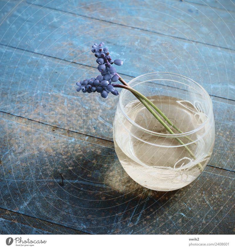 Blau machen Wasser Hyazinthe 2 Blumenvase Tischplatte Glas Kunststoff Blühend Duft Erholung alt dünn authentisch blau ruhig filigran zerbrechlich klein nah