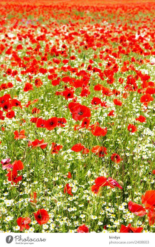 Mohnblumenfeld Allergie Landschaft Pflanze Sommer Schönes Wetter Blume Blüte Nutzpflanze Klatschmohn Kamillenblüten Feld Blühend drehen authentisch Duft positiv