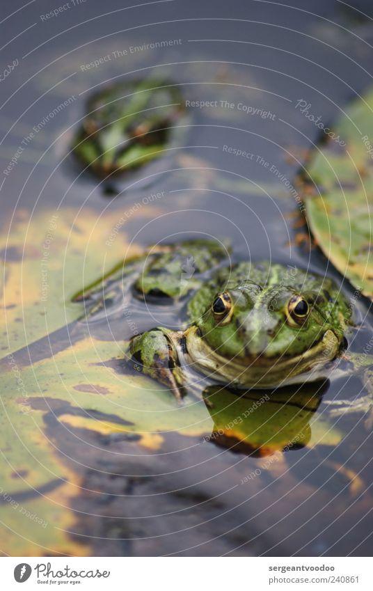 Stalk the frog Natur Wasser grün Sommer Blatt Tier Umwelt Garten See Schwimmen & Baden Zusammensein Wildtier Tierpaar wild warten nass
