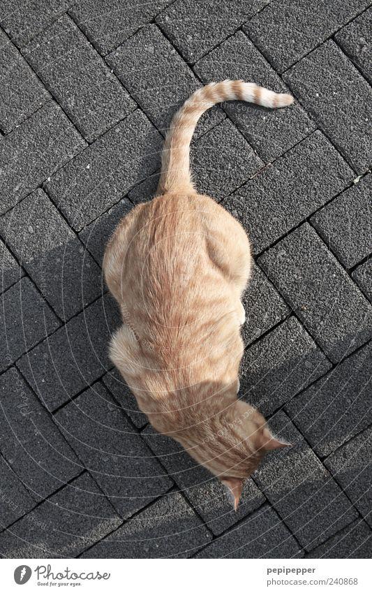 kreuzweise Tier grau Stein Katze Linie gold Streifen Fell Haustier