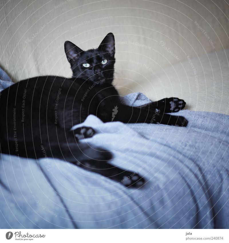 herzbub schön schwarz Tier grau Katze Wohnung liegen Sofa beobachten genießen Decke Haustier beige