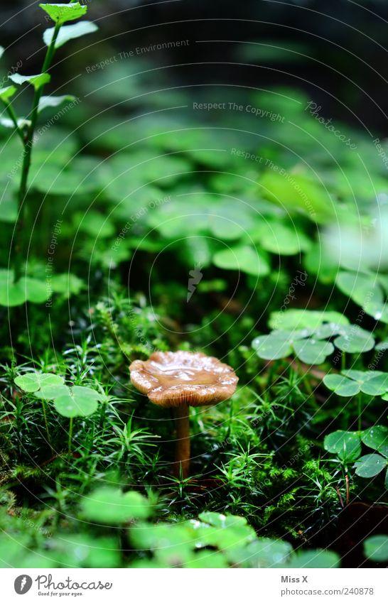 Waldbewohner Umwelt Natur Wassertropfen Sommer Herbst Regen Pflanze Gras Moos Wachstum klein nass Glück Glücksklee Glücksbringer Klee Pilz Kleeblatt Waldboden