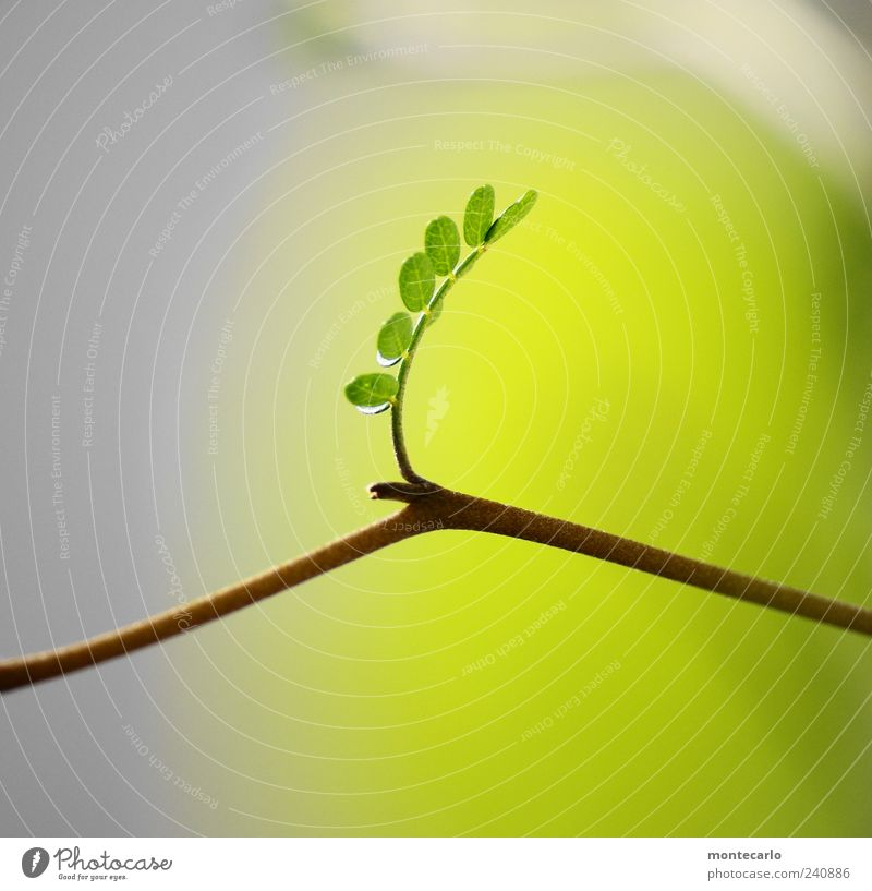 Miniatur Baum Pflanze Sommer Blatt ästhetisch Zweig exotisch Grünpflanze zartes Grün