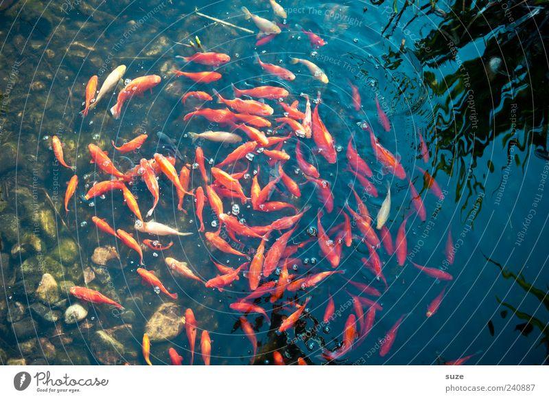 Goldwäsche Wasser rot Tier Bewegung See Schwimmen & Baden Zusammensein gold nass Fisch rund Lebewesen Zusammenhalt durcheinander Teich Schwarm