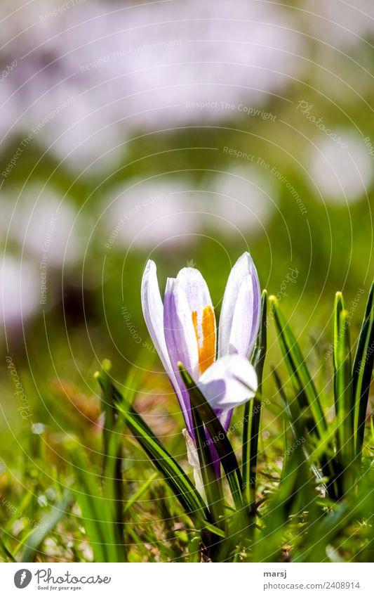 Wilder Krokus Natur Pflanze Blüte Wildpflanze Krokusse Blühend leuchten violett Frühlingsgefühle Vorfreude Kraft Farbfoto mehrfarbig Außenaufnahme Nahaufnahme