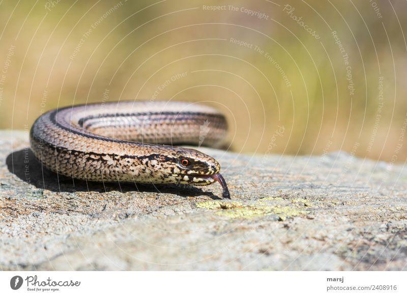 Schlangenalarm   Falschmeldung Tier Wildtier Blindschleiche Auge Zunge 1 beobachten entdecken leuchten Ekel gruselig Farbfoto Gedeckte Farben Außenaufnahme