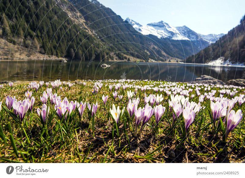 Krokusteppich am Riesachsee Natur Pflanze Wasser Landschaft ruhig Berge u. Gebirge Leben Frühling natürlich klein außergewöhnlich See Zusammensein Ausflug