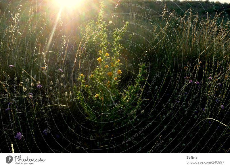 Zartes Erwachen Garten Natur Sommer Gras Sträucher Wildpflanze Wiese Blühend leuchten schön grün Stimmung Zufriedenheit Frühlingsgefühle Farbfoto Außenaufnahme